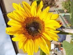 Single sunflower stud order